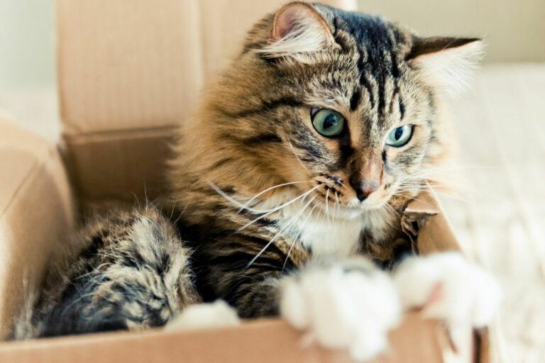 Katze liegt im Karton