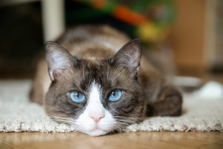 Portrait Snowshoe Katze
